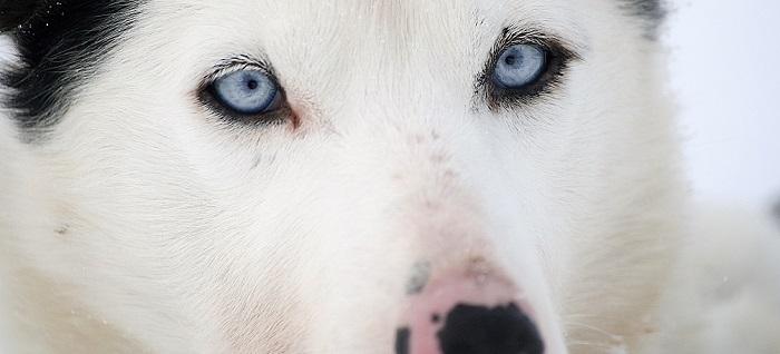 Husky eyes 238
